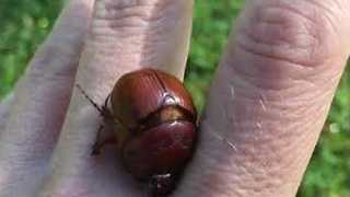 Beetle Gives Rescuer a Mini Massage - Video