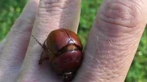 Beetle Gives Rescuer a Mini Massage