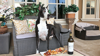 Great Dane Enjoys Wine O'Clock Snack