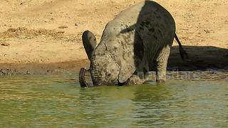 Adorable baby elephant awkwardly drinks water with its mouth - Video