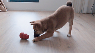 Smart Shibu Inu Puppy Working for Some Treats  - Video