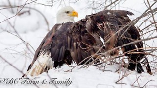 Photographers Free Bald Eagle Trapped in Hunter's Snare - Video
