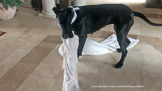 "Playful Great Dane ""helps"" out with the laundry"