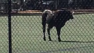 Cow Captured After Running Loose in Brooklyn - Video