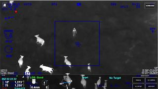 Herd of cows help corral Florida car theft suspect running from police - Video