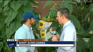 Giant sunflowers towering over Greendale - Video