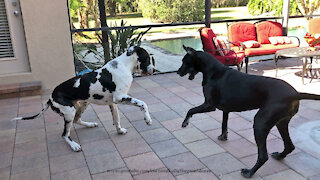 Wrestling Great Danes show off their fancy footwork