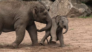 Baby elephant gets knocked around by bully big brother - Video