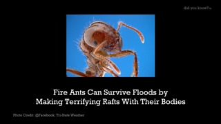 Fire Ants Can Survive Floods by Making Terrifying Rafts With Their Bodies - Video