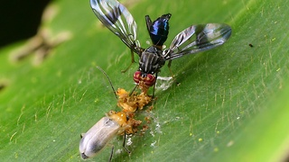 Pair of colorful rainforest bugs enjoy breakfast together - Video