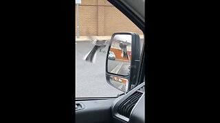 Angry bird attacks itself in a car mirror at London drive-through