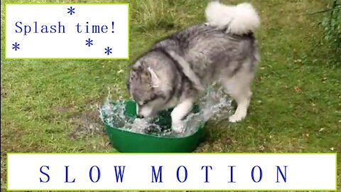 Slow-motion dog splashing around in a water tub