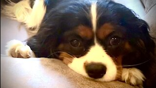 Hilarious dogs skillfully pressure mom with irresistible faces