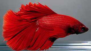 Red Bettafish  - Video