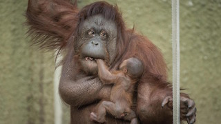 Proud Mum Shows Off Baby Orangutan: ZooBorns - Video