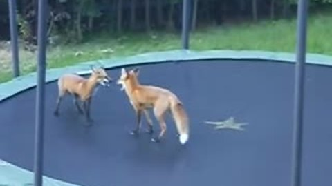 Wild foxes play and jump on trampoline