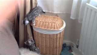 Bengal Kitten Buddies Play and Fight on a Wicker Basket - Video