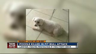 Pit bulls attack Tampa man, eat poodle - Video
