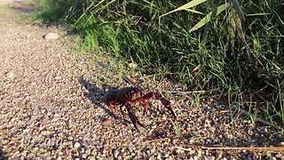 This Crayfish Just Can't Stop Falling Over - Video