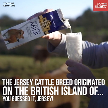 Jersey Cows Everything You Need To Know About The Breed