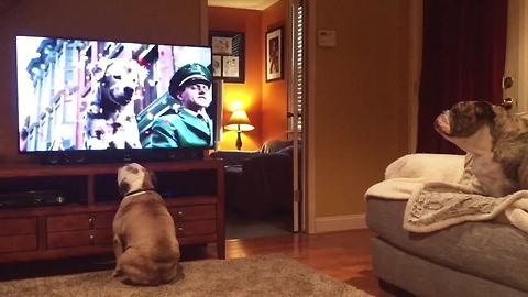 Bulldogs incredibly cheer on stray canine in Budweiser commercial