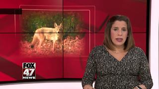 Coyote spotted Thursday in East Lansing neighborhood - Video