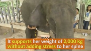 Elephant Gets New Prosthetic Leg - Video
