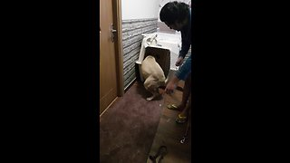 Guilty Bullmastiff puppy can't even face her crime - Video
