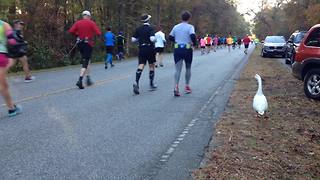Funny Duck Joins The Marathon Runners