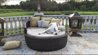 Max the Great Dane Having Fun on a Lounger  - Video