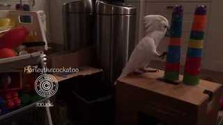 Harley the Cockatoo Gets a New House - Video
