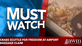 Crabs scuttle for freedom at airport baggage claim - Video