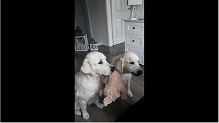 Dogs Take Turns Holding A Toy While The Other Receives Treats