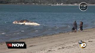 Beached whale towed to Fiesta Island - Video