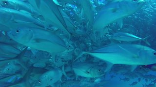 Massive school of fish completely surround scuba divers - Video