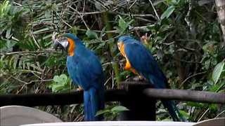 Chatty Macaws Make a Ruckus - Video