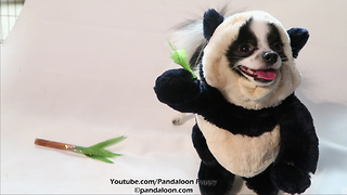 Dancing panda puppy dog will brighten your day - Video