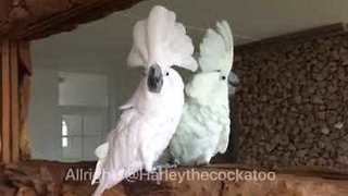 Cockatoo Squawks at Reflection in Mirror - Video