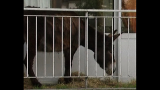 Donkey Has Adventure On Balcony - Video