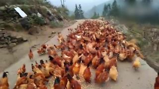 Watch What This Farmer Does To Gather His Flock Of Chickens - Video