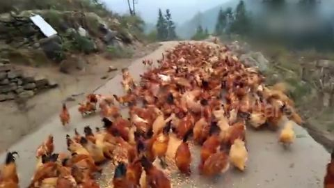 Farmer Uses Whistle To Gather All Of His Chickens