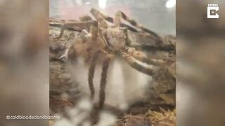 SKIN-CRAWLING FOOTAGE SHOWS HUNTSMAN SPIDER LAYING EGGS