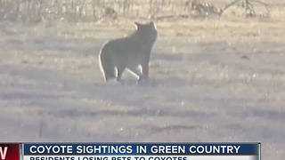 Coyote sightings in Green Country