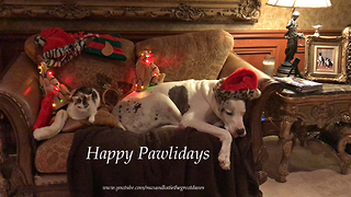 Sleepy Great Dane and Three Cats Enjoy Christmas Decorations  - Video