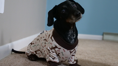 Watch This Wiener Dog Being Too Lost In A Pair Of Pajamas