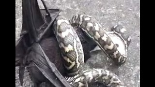 'Eyes Bigger Than Your Belly': Snake Struggles to Swallow Large Bat