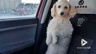 Adventurous Poodle Calls Shotgun And Joins Driver For A Ride - Video