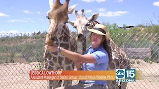 Out of Africa has adorable baby giraffes!