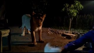 Indian villagers train lioness to receive treats like a dog - Video