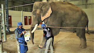 Rescued elephants undergo veterinary treatments at their sanctuary